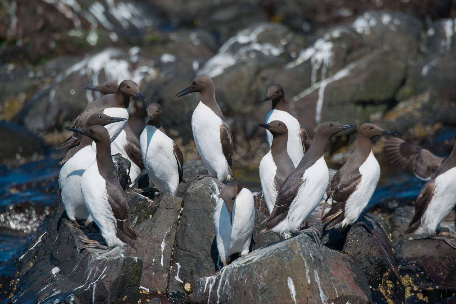 Guillemots, UK seabirds, birds, wildlife
