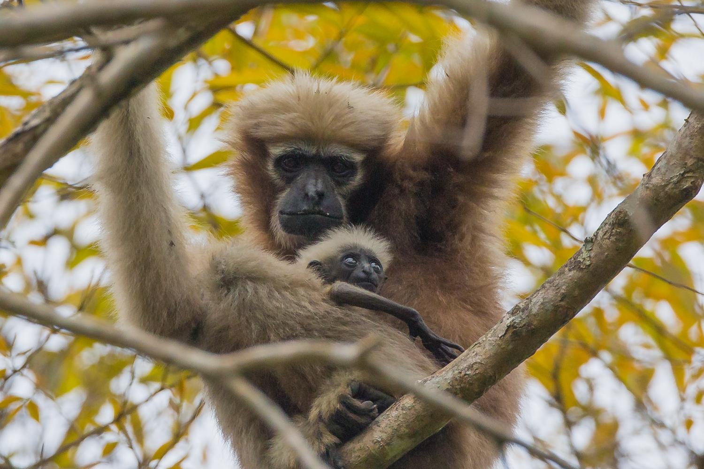 Hoolock Gibbon, Indian primates, animals, wildlife photography
