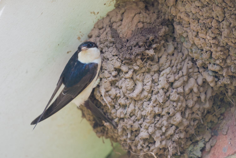 House Martin, UK birds, swallows, wildlife