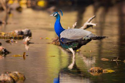 Indian Peafowl, birds of India, wildlife photography