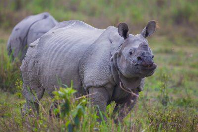 Indian Rhinoceros, animals, India, wildlife photographs