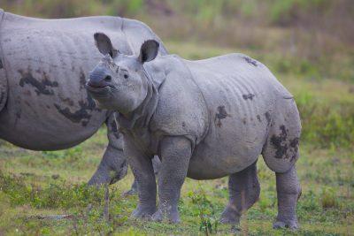 Indian Rhinoceros, wildlife, animals, wildlife photography