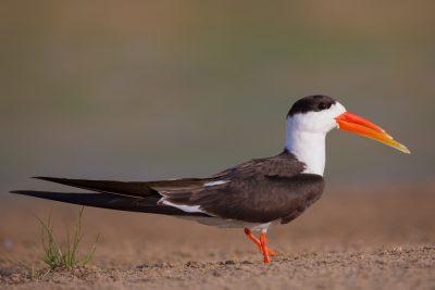 Indian Skimmer, birds of India, wildlife