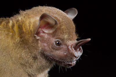 Jamacian Fruit-eating Bat, Artibeus, Costa Rica wildlife, animals