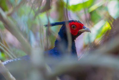 Kalij Pheasant, Birds of India, wildlife