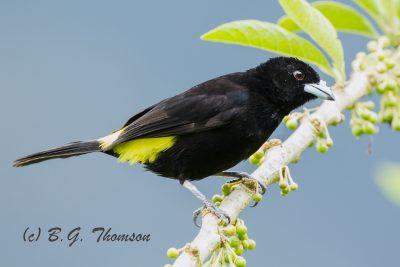 Lemon-rumped Tanager, Ecuador birds, nature photography