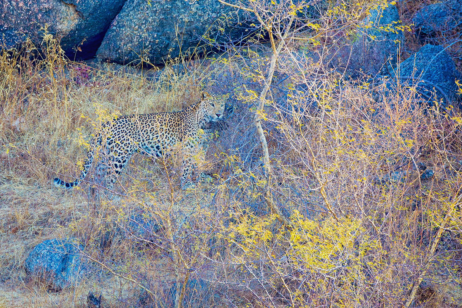 Leopard, Indian scenery, wildlife images