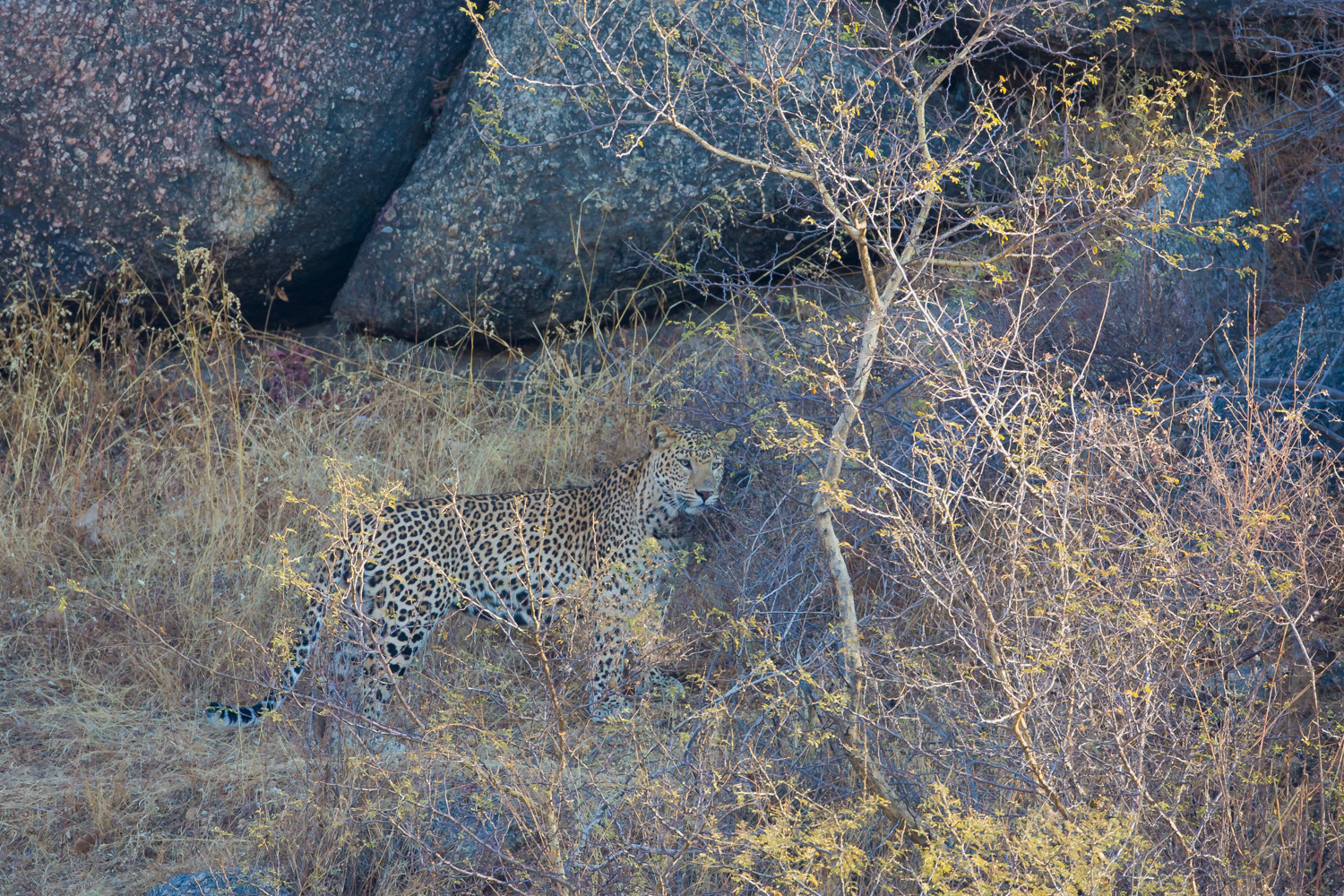 Leopard, Indian wildlife, big cats, camouflage
