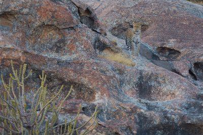 Leopard, Indian wildlife, big cats, animals, camouflage