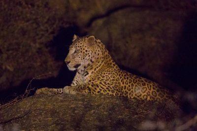 Leopard, big cats, India