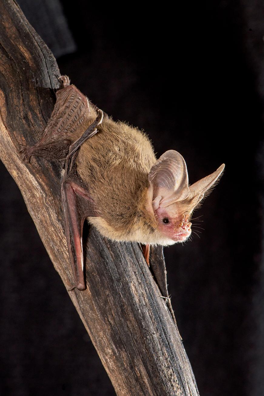 Lesser Long-eared Bat, Australian bats, wildlife, animals