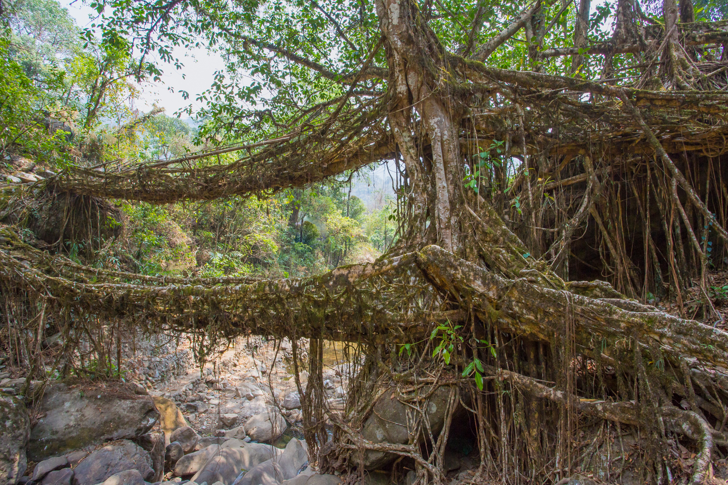 Living Bridges, made from fig roots, India, trees