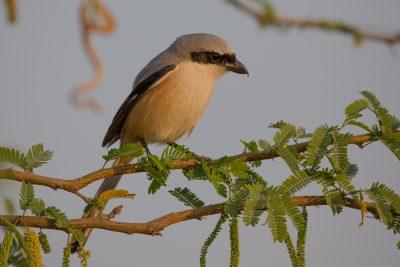 Long-tailed Shrike, birds of India, wildlife