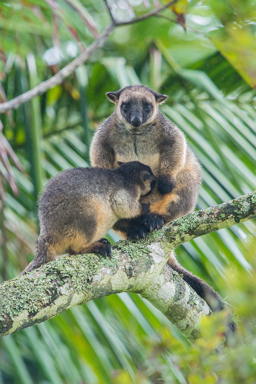 Lumholtz's Tree Kangaroo, Australian wildlife, animals