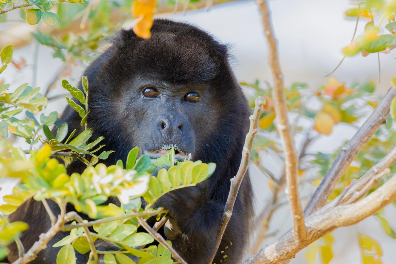 Mantled Howler Monkey, Costa Rica animals, wildlife images