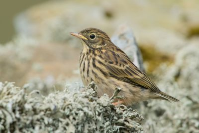 Young Meadow Pipit. British Birds, Fair Isle
