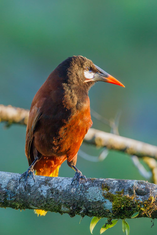 Montezuma's Oropendola, Costa Rica birds, wildlife
