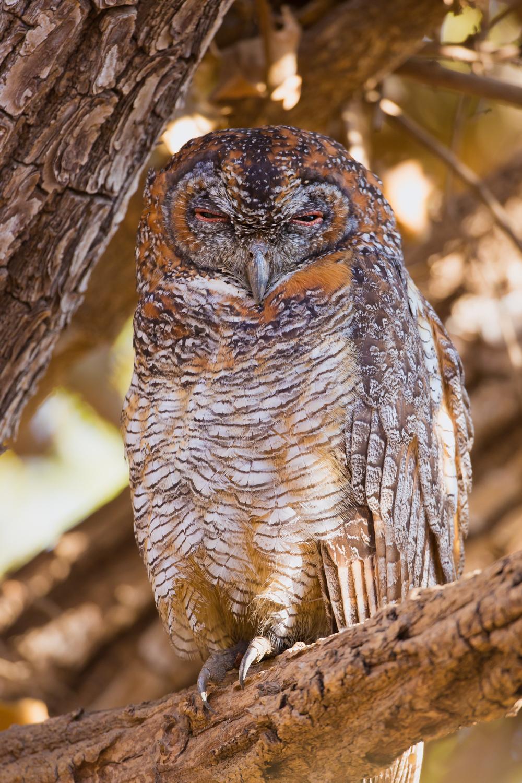 Mottled Wood Owl, Indian birds, wildlife