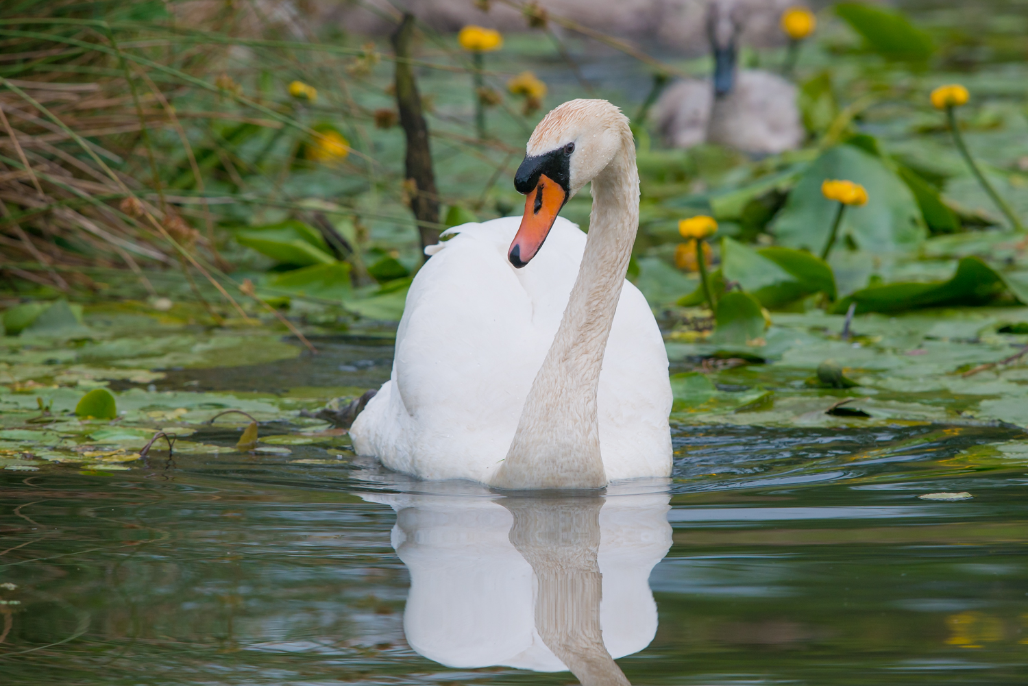 Mute Swan, UK birds, waterbirds, wildlife