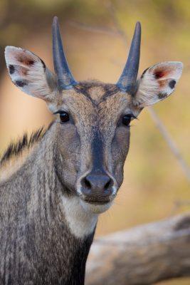 Nilgai, Blue Bull, Indian animals, wildlife