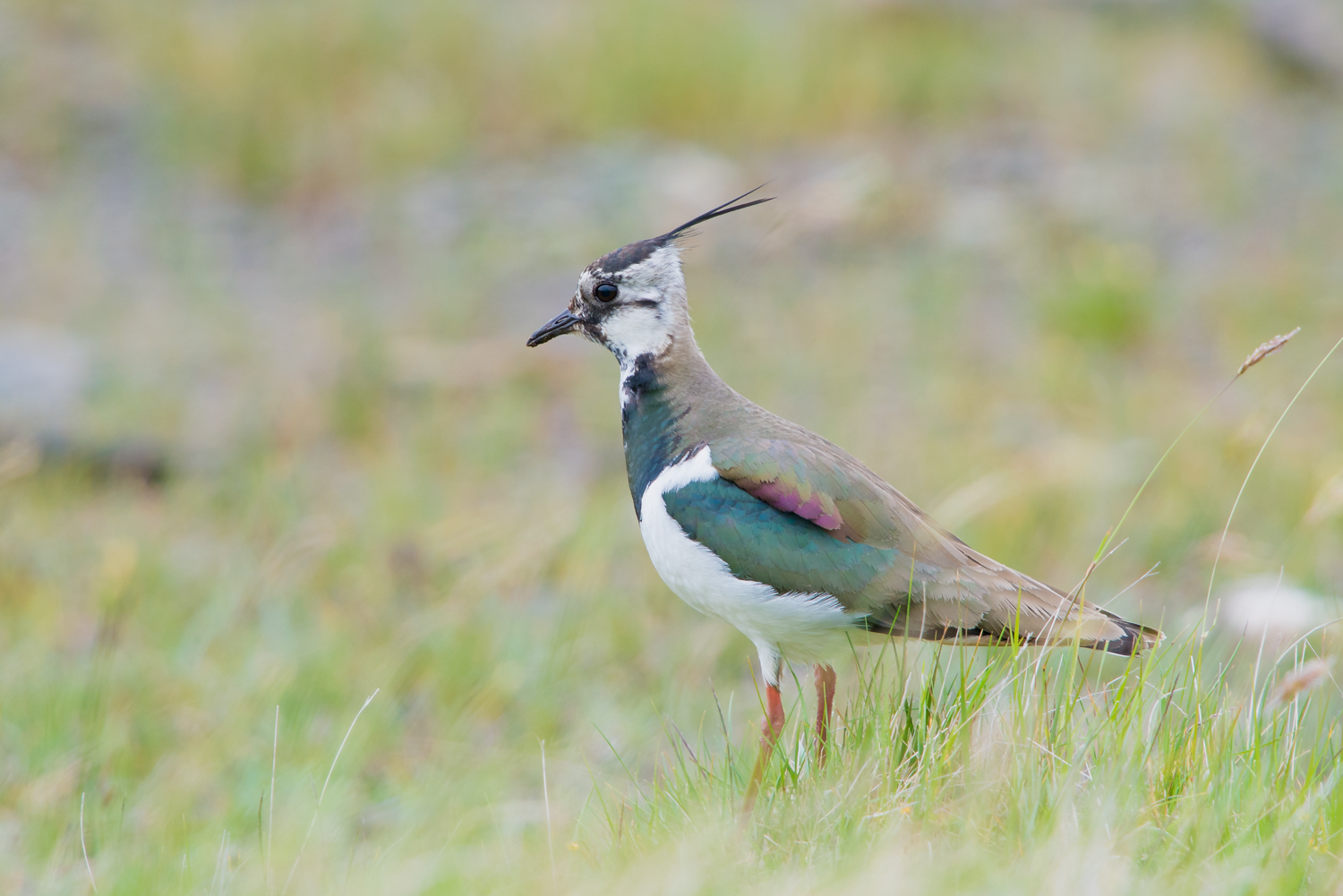Northen Lapwing, British birds, wildlife