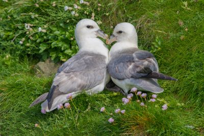 Northern Fulmar, British Birds, wildlife