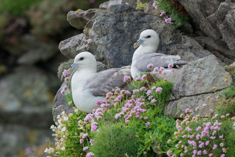 Northern Fulmar, British birds, wildlife
