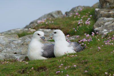Northern Fulmar, British sea birds, Fair Isle