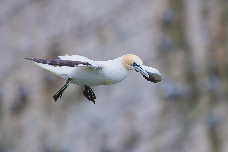 Northern Gannet, sea birds, Britian