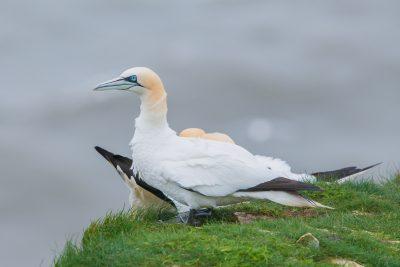 Northern Gannet, British birds, wildlife, sea birds