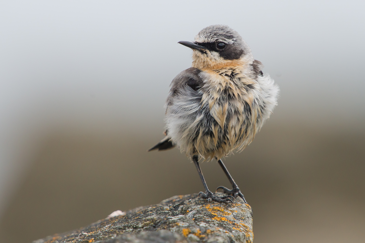 Northern Wheatear, Fair Isle, UK, birds, wildlife