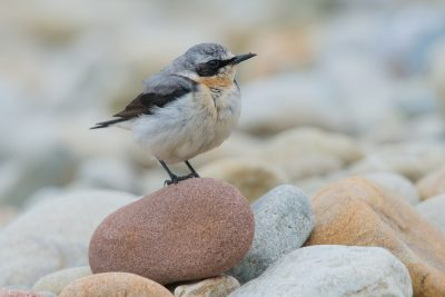 Northern Wheatear, British Birds, Fair Isle, wildlife