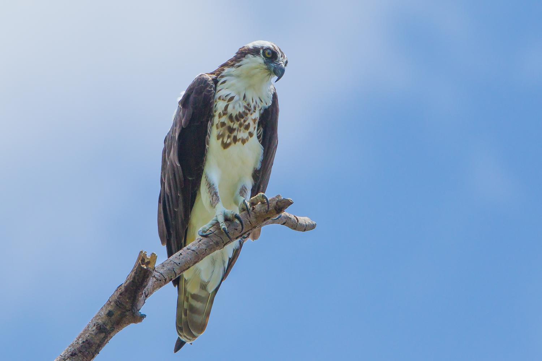 Osprey, Costa Rica birds, wildlife images