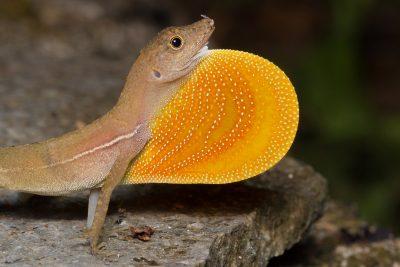 Pacific Anole, Costa Rica reptiles, animals, wildlife photos