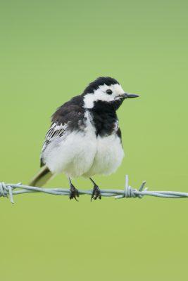 Pied Wagtail, British birds, wildlife