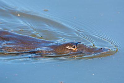 Platypus,  Australian monotremes, wildlife