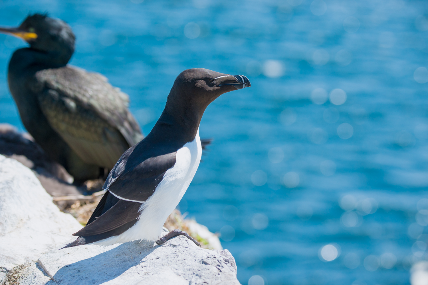 Razorbill, British sea birds, wildlife