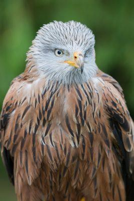 Red Kite, British Birds, wildlife
