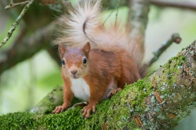 Red Squirrel, Scotland. British wildlife, animals