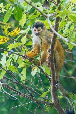 Red-backed Squirrel Monkey, Costa Rica wildlife, animals