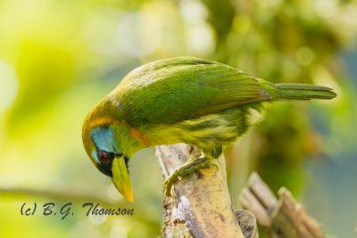 Red-headed Barbet, Ecuador birds, nature images
