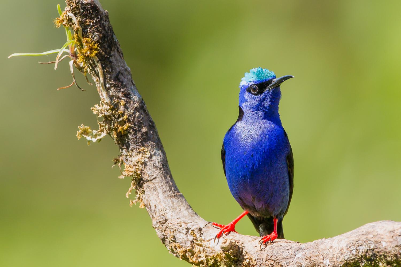 Red-legged Honeycreeper, Costa Rica birds, wildlife images