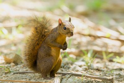 Red-tailed Squirrel, Costa Rica animals, wildlife images