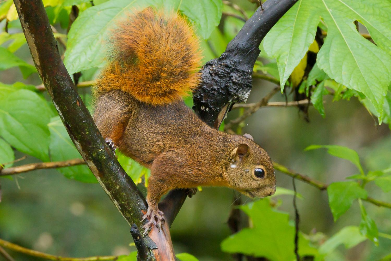 Red-tailed Squirrel, Ecuador wildlife, nature images