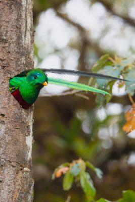 Resplendent Quetzal, Costa Rica birds, wildlife photos