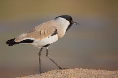 River Lapwing, birds of India, wildlife