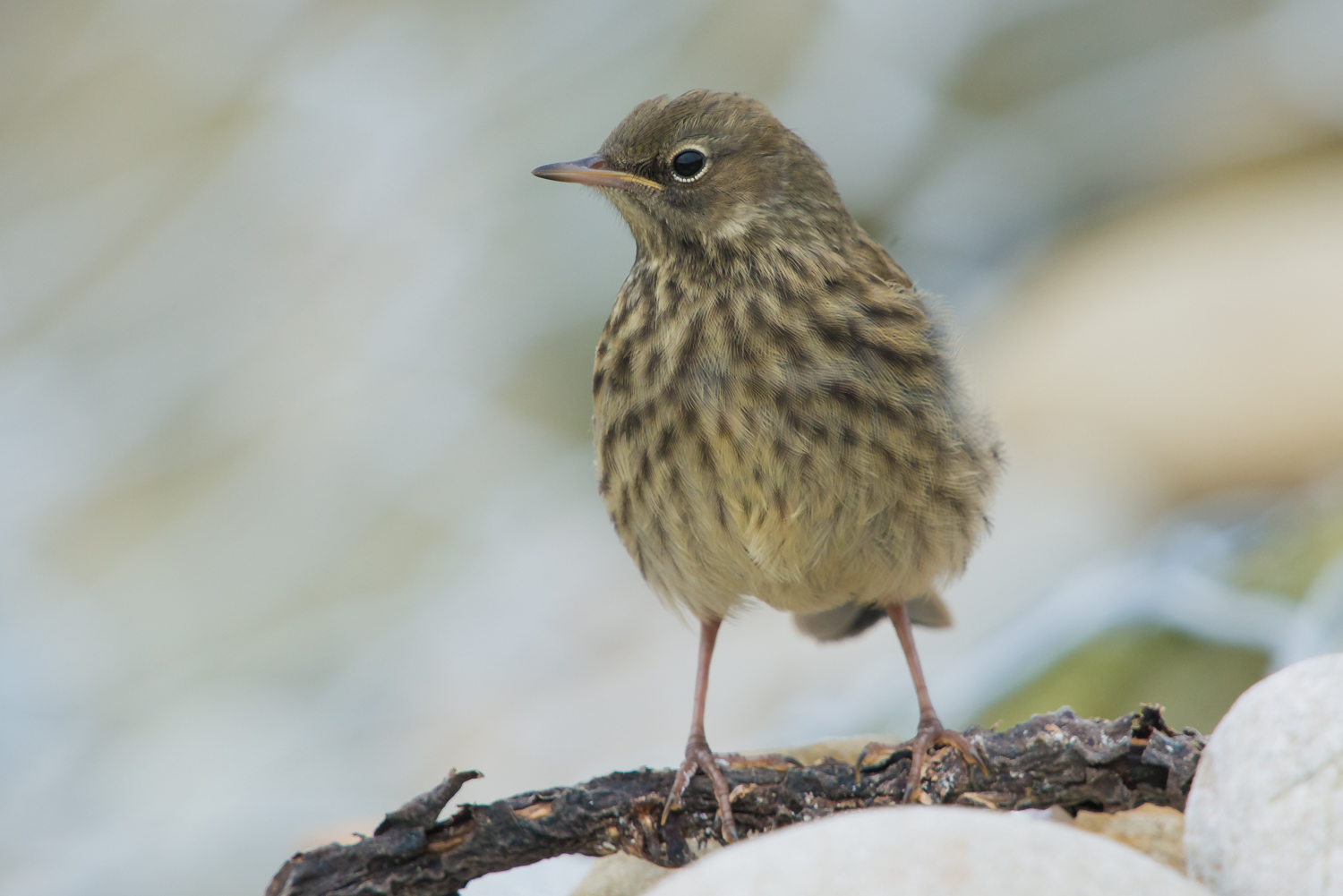 Rock Pipit, British Birds, wildlife