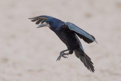 Rook in flight. British birds, wildlife