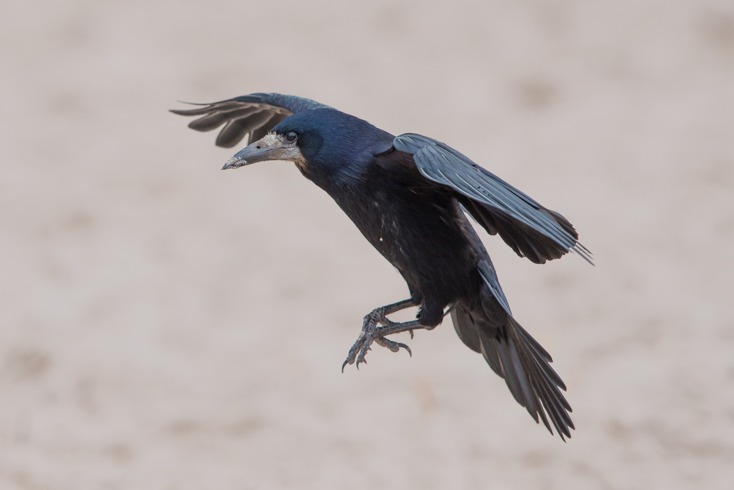 Rook in flight. British birds, wildlife