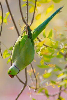 Rose-ringed Parakeet, Indian birds, wildlife
